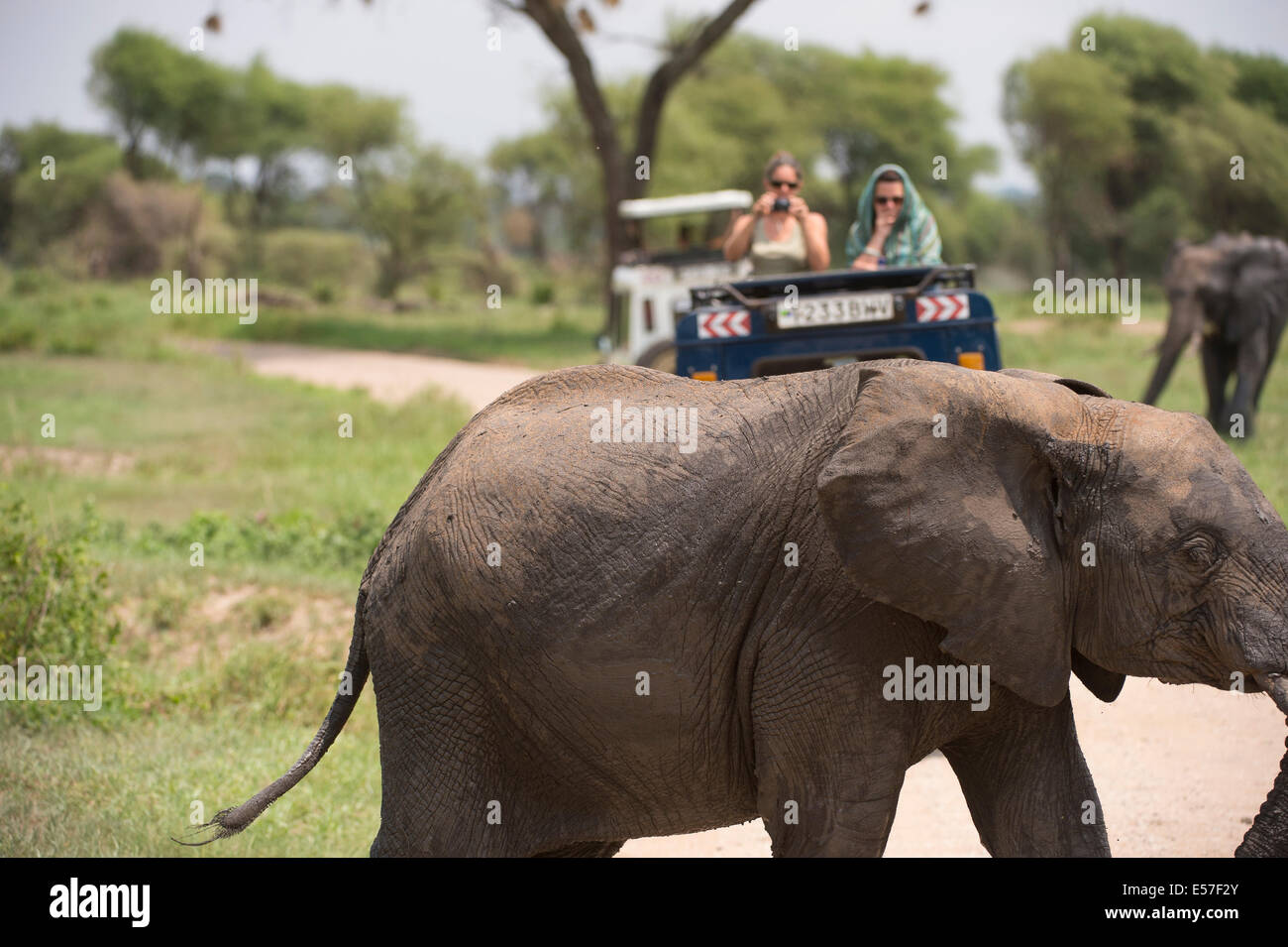 People watching an elephant in Tarangire national park Tanzania - Stock Image