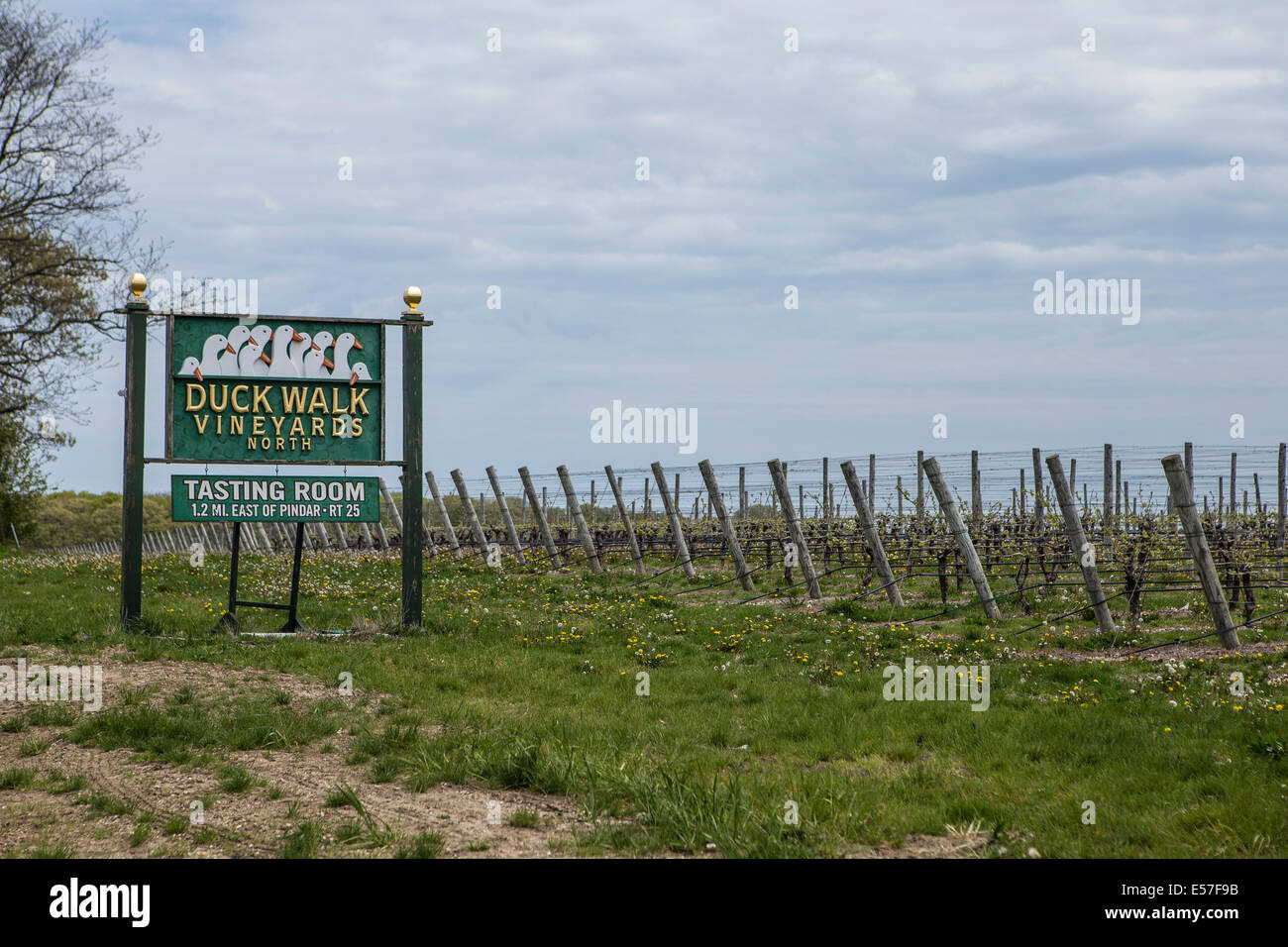 The Duck Walk vineyard is pictured in Southold, New York - Stock Image