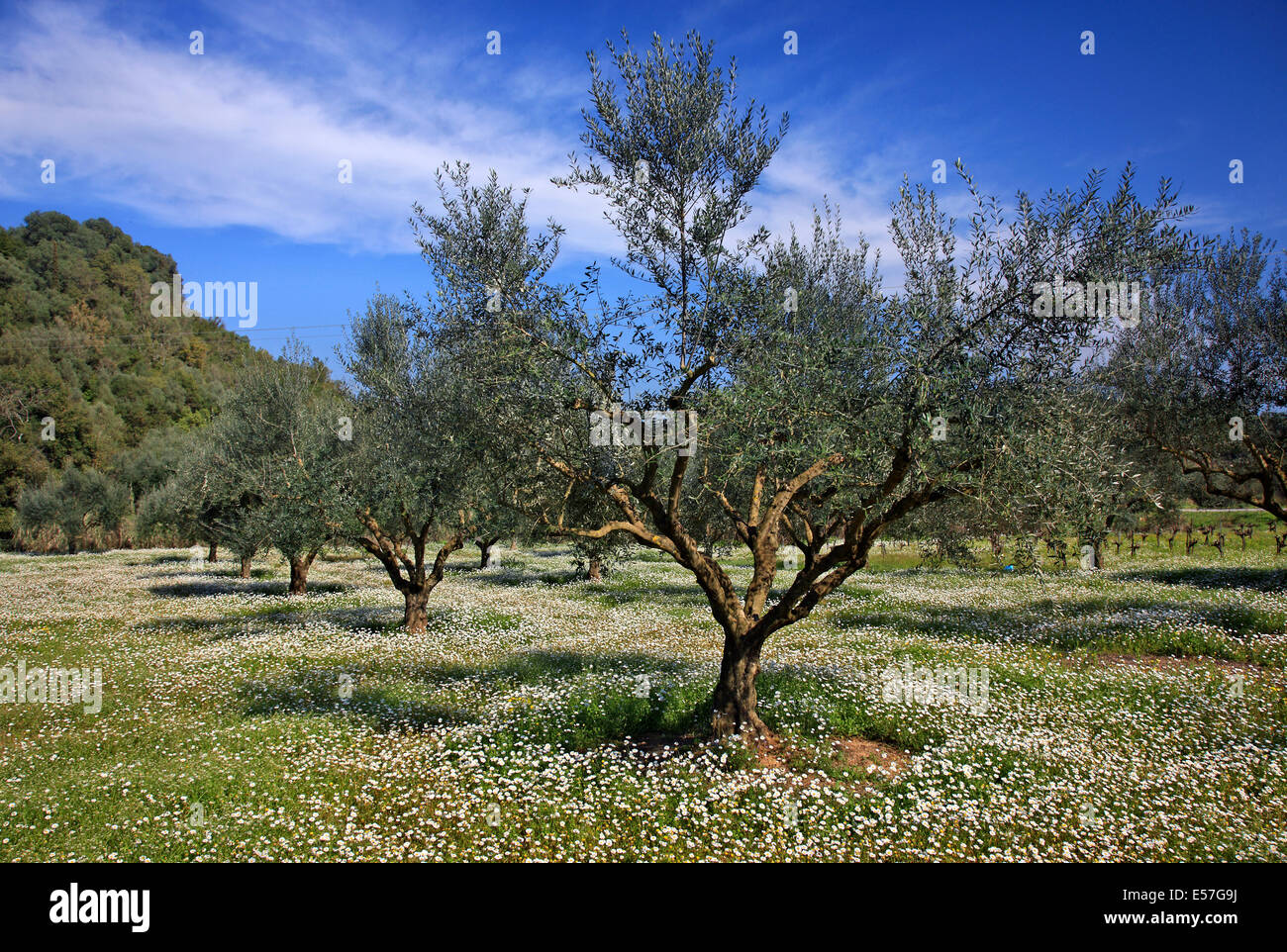 Olive trees close to Amfithea village, Messene municipality, Messenia, Peloponnese, Greece. - Stock Image