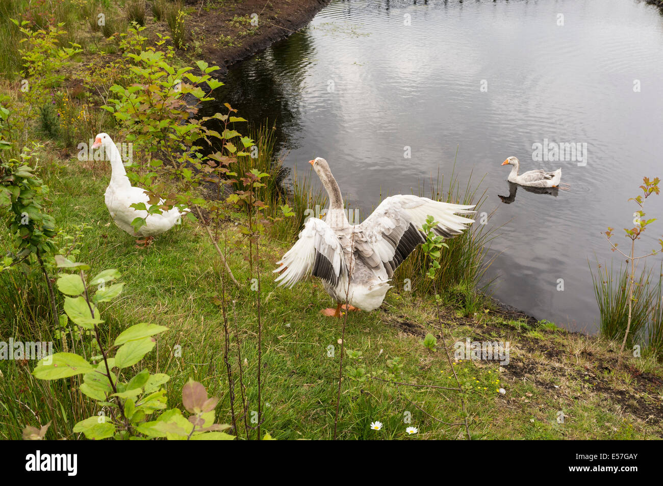 Geese living on the bog at Lullymore in rathangan, Kildare, Ireland - Stock Image