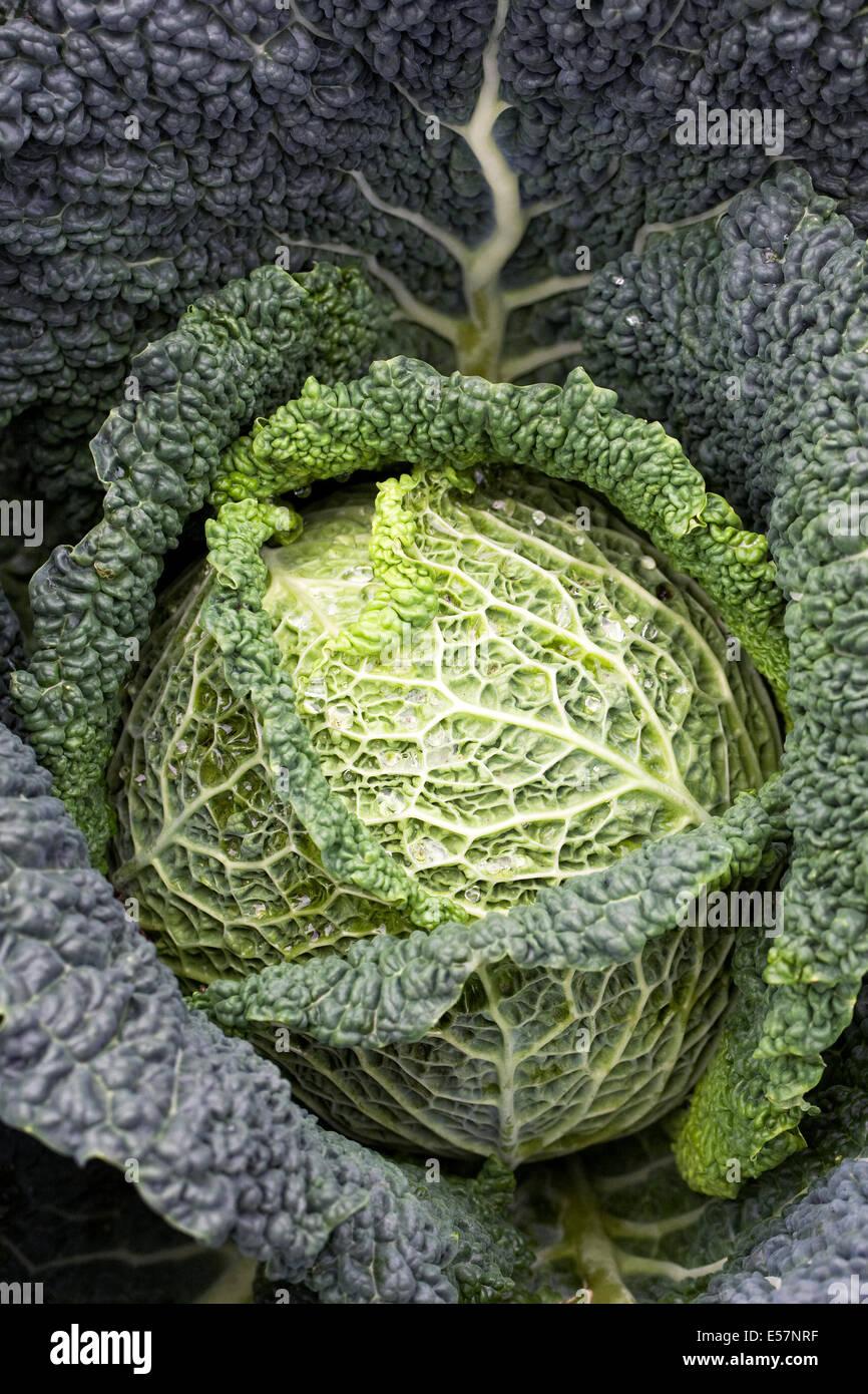 Cabbage 'Caserta'. Mini savoy cabbage. Stock Photo