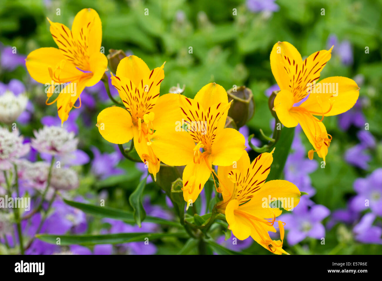 Flowers Of The Yellow Form Of The Summer Flowering Peruvian Lily Stock Photo Alamy