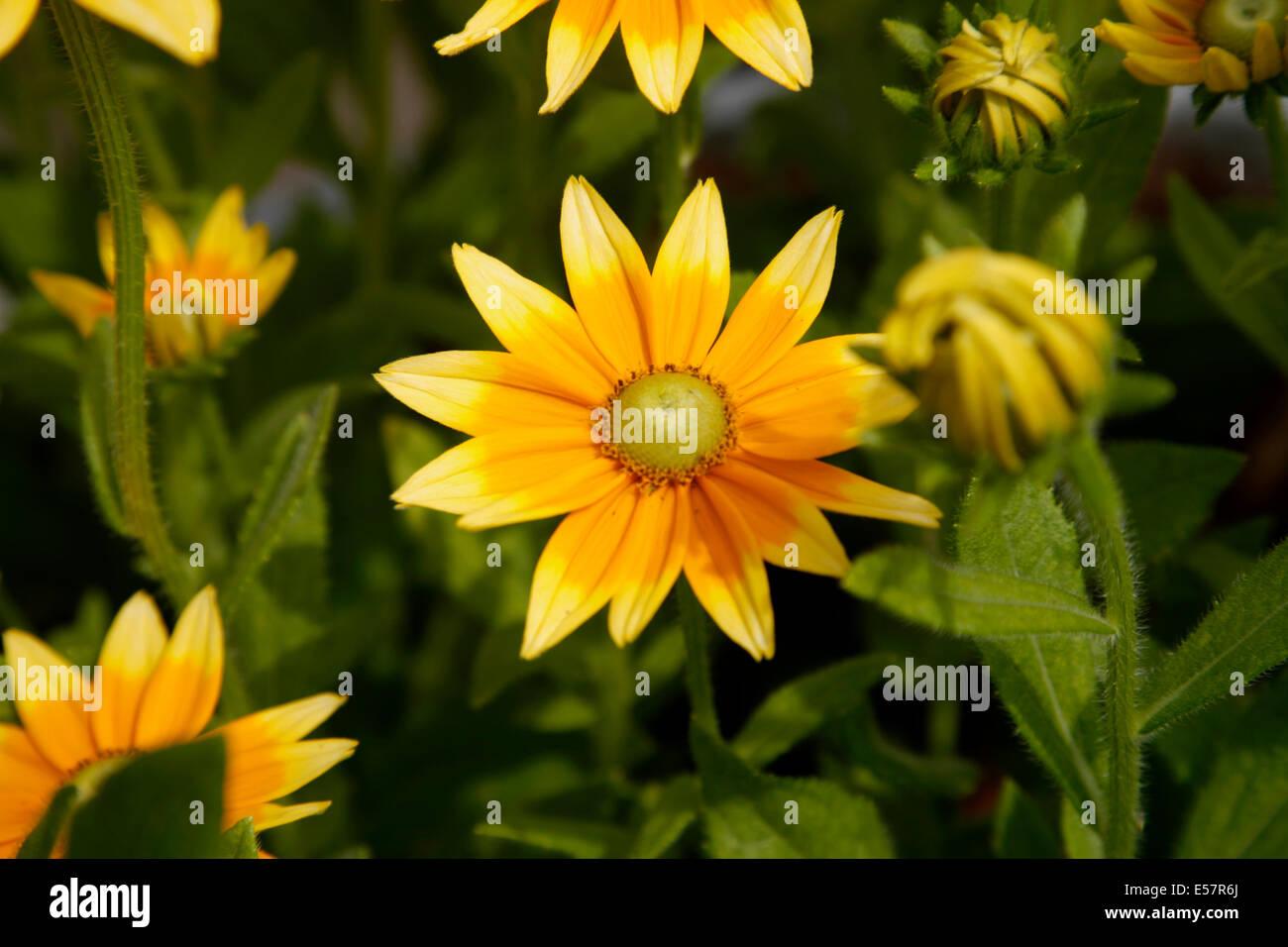 Prairie Sun Black Eyed Susan Features Yellow Orange Flowers It Is