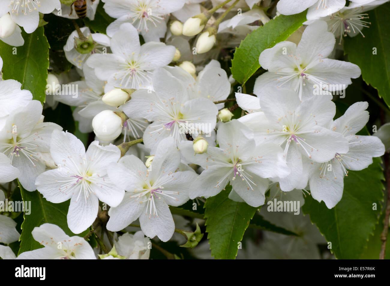 Hoheria glory of amlwch stock photos hoheria glory of amlwch stock massed white flowers of the summer flowering hardy tree hoheria glory of amlwch mightylinksfo