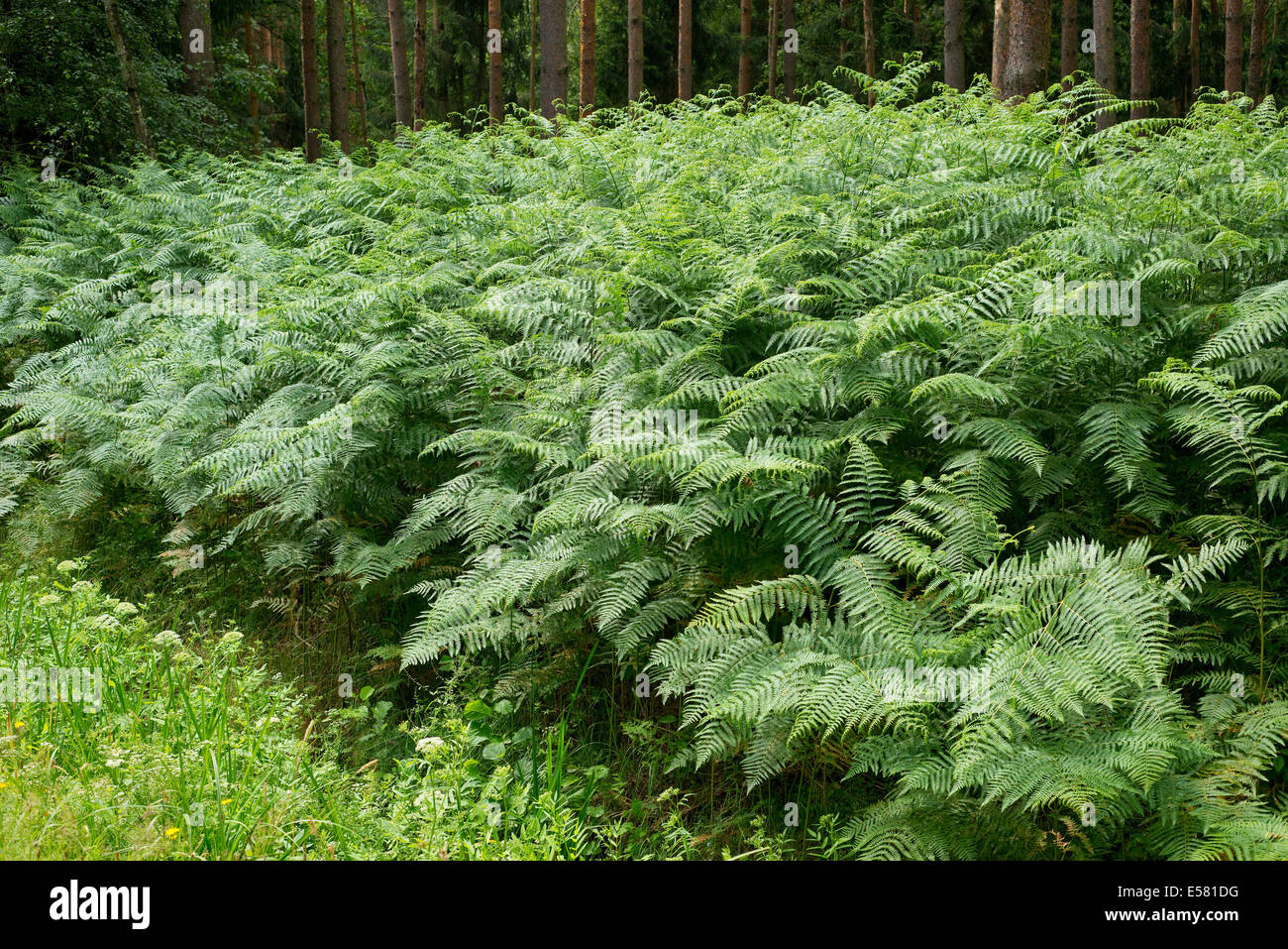 Bracken (Pteridium aquilinum), growing in abundance, Barnbruch nature reserve, Lower Saxony, Germany - Stock Image