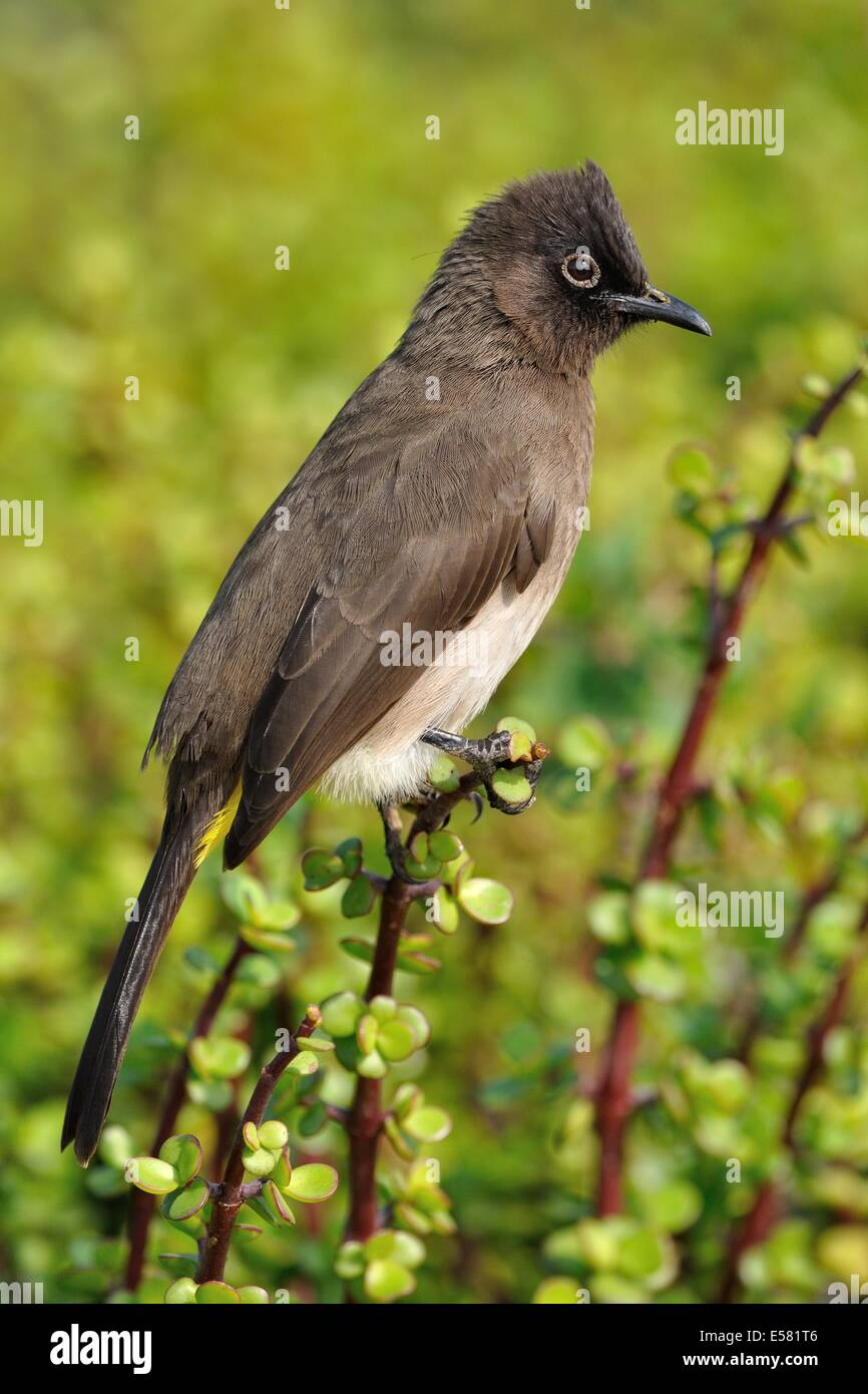 Cape Bulbul (Pycnonotus capensis) on a Spekboom tree (Portulacaria afra), Addo National Park, Eastern Cape, South Stock Photo