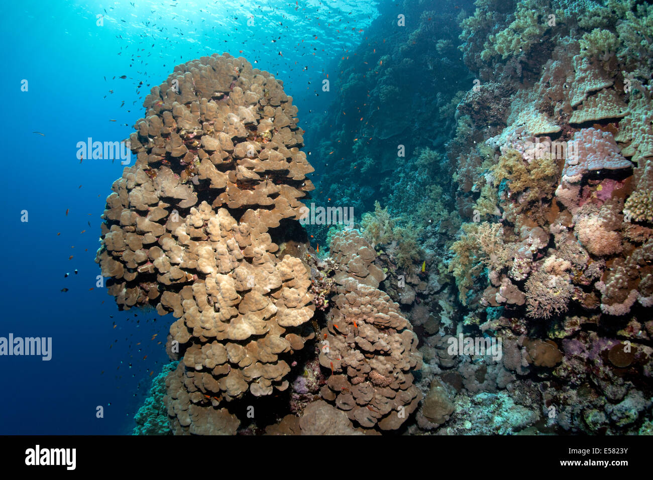Coral reef with steep drop and protruding coral tower of a Dome Coral (Porites nodifera) Zarbagad Island, Red Sea, - Stock Image