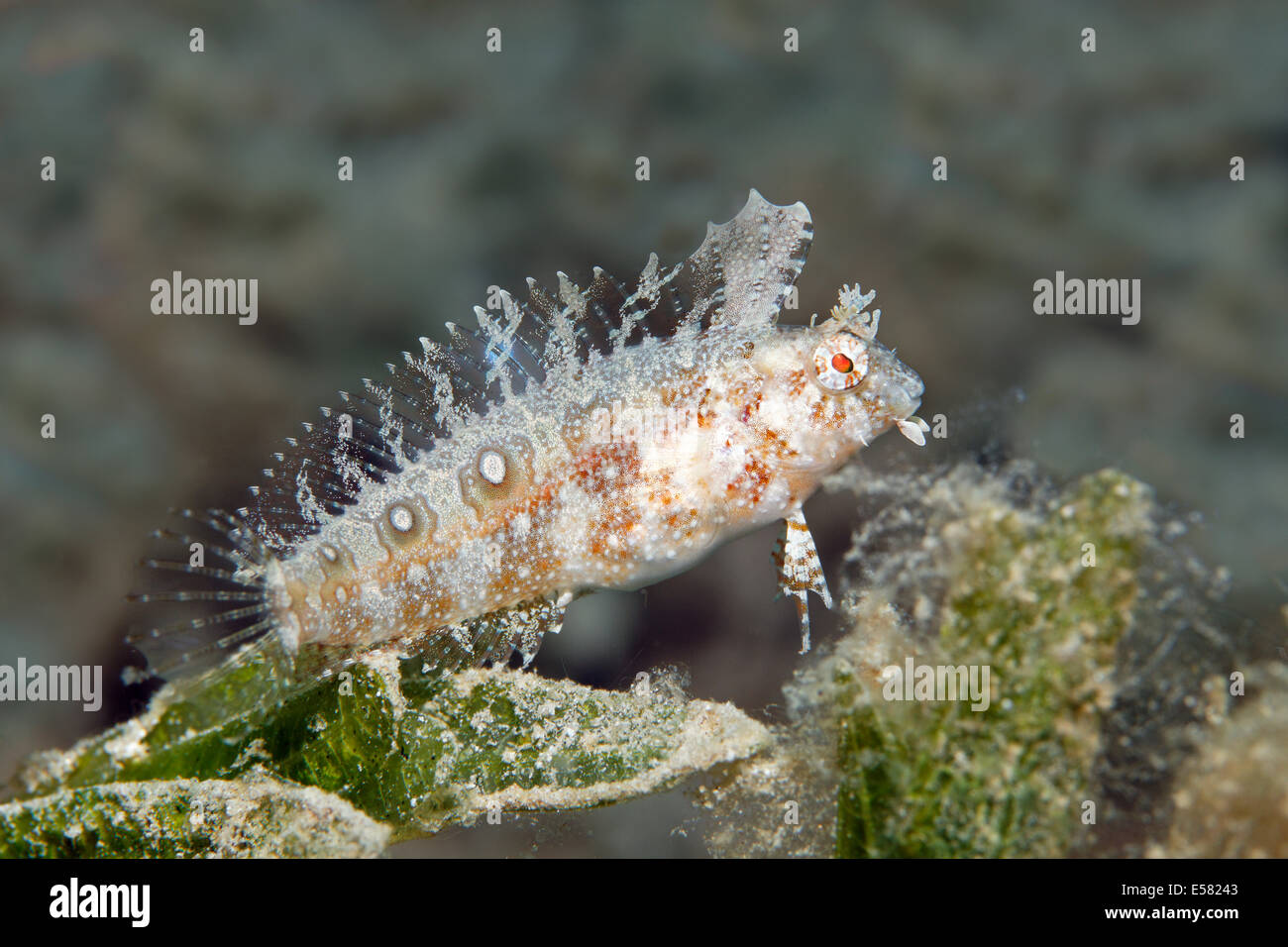 Blenny (Petroscirtes sp.) on seagrass meadow, Red Sea, Egypt - Stock Image