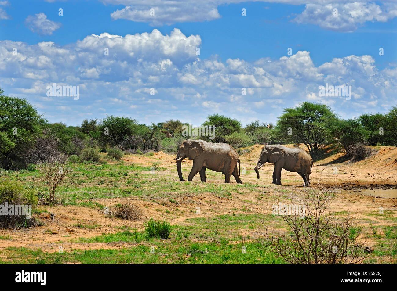 African Elephants (Loxodonta africana), savannah, Erindi Game Reserve, Namibia - Stock Image