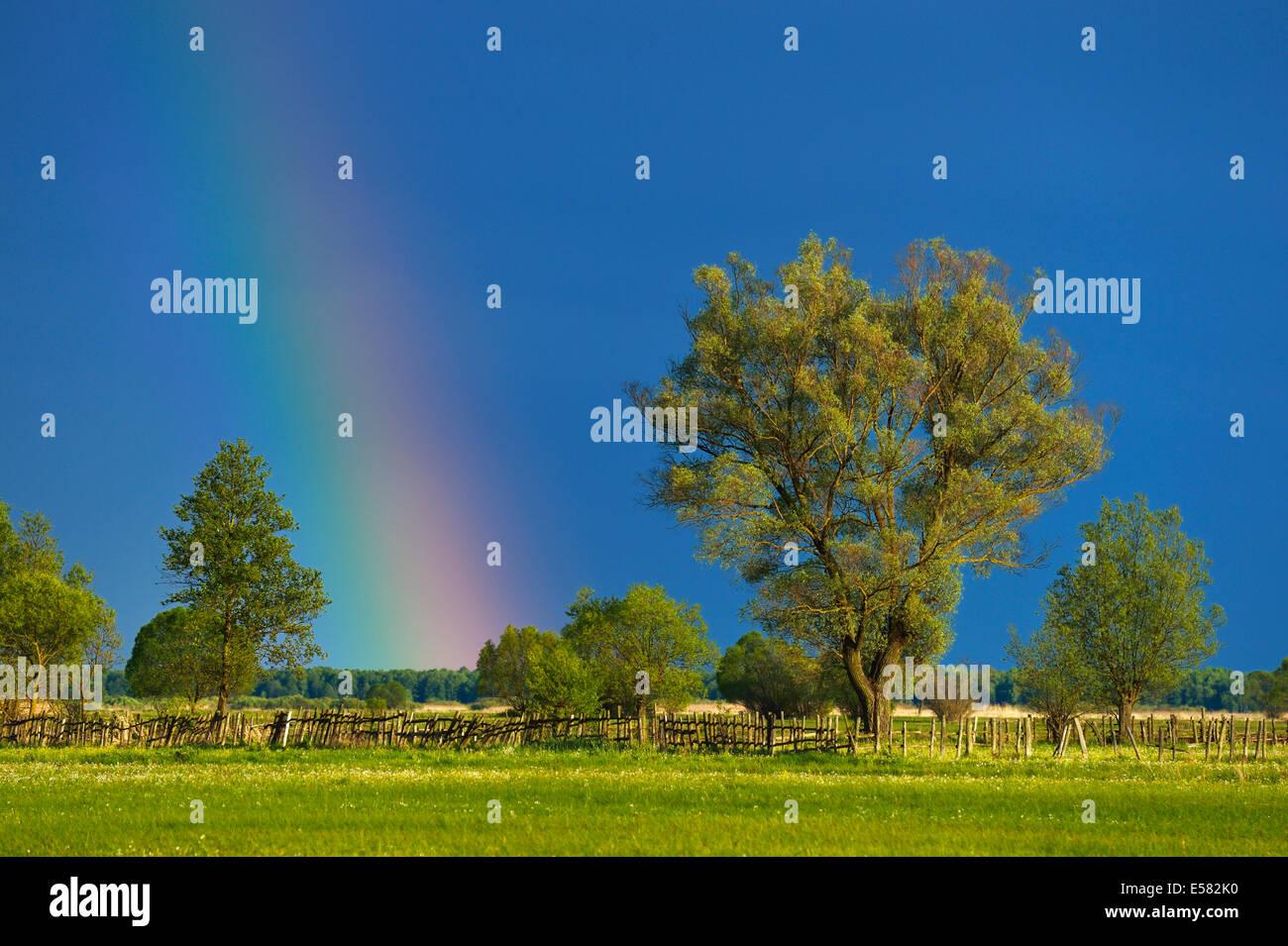 Rainbow over a Willow (Salix), Biebrza National Park, Poland - Stock Image