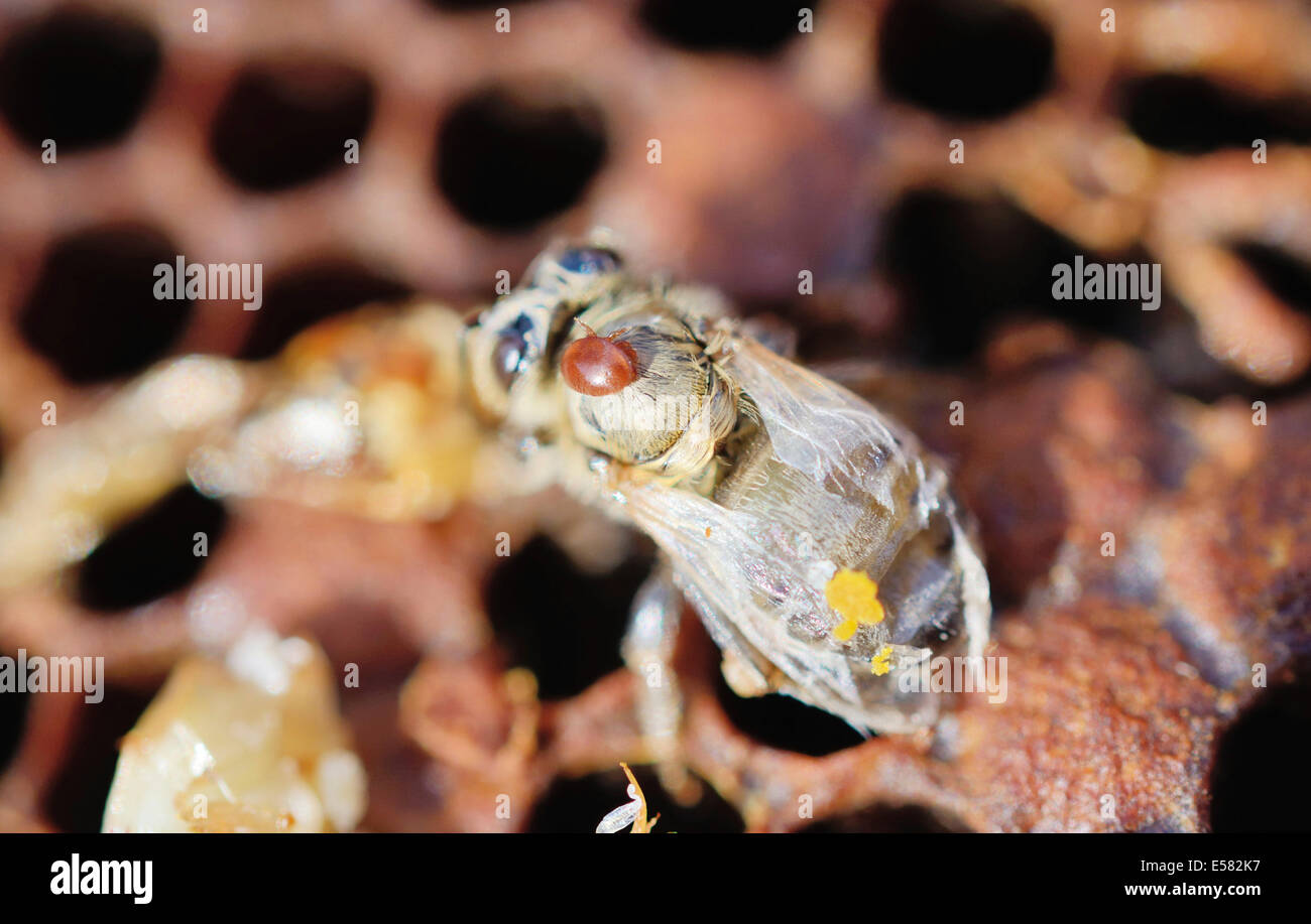 Bee colony infested with Varroa Honey Bee Mites (Varroa destructor, syn. Jacobsoni), mite on a newly emerged, deformed - Stock Image