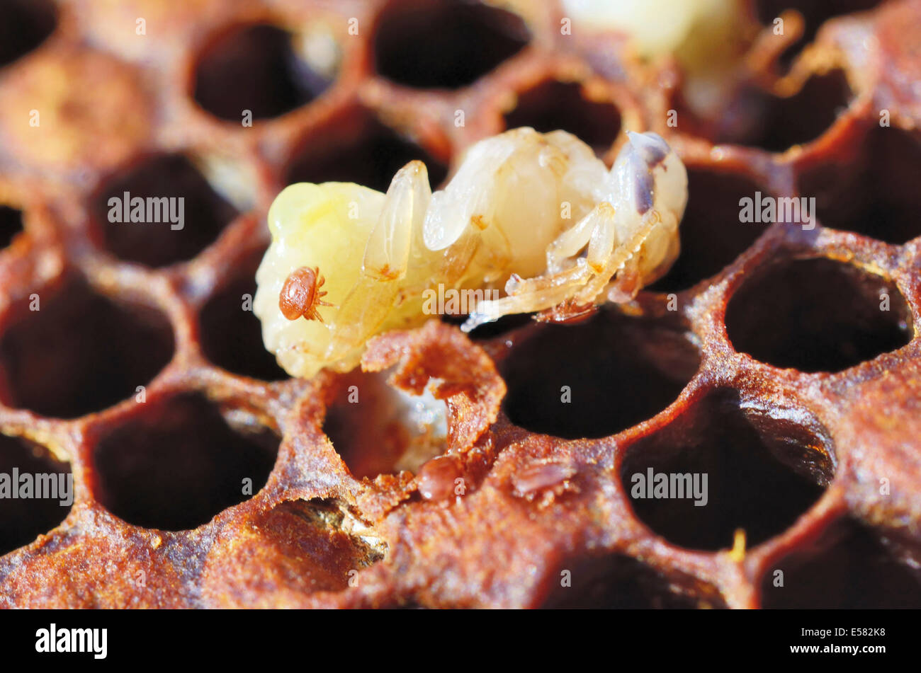 Bee colony infested with Varroa Honey Bee Mites (Varroa destructor, syn. Jacobsoni), mite on a Bee larva (Apis mellifera - Stock Image
