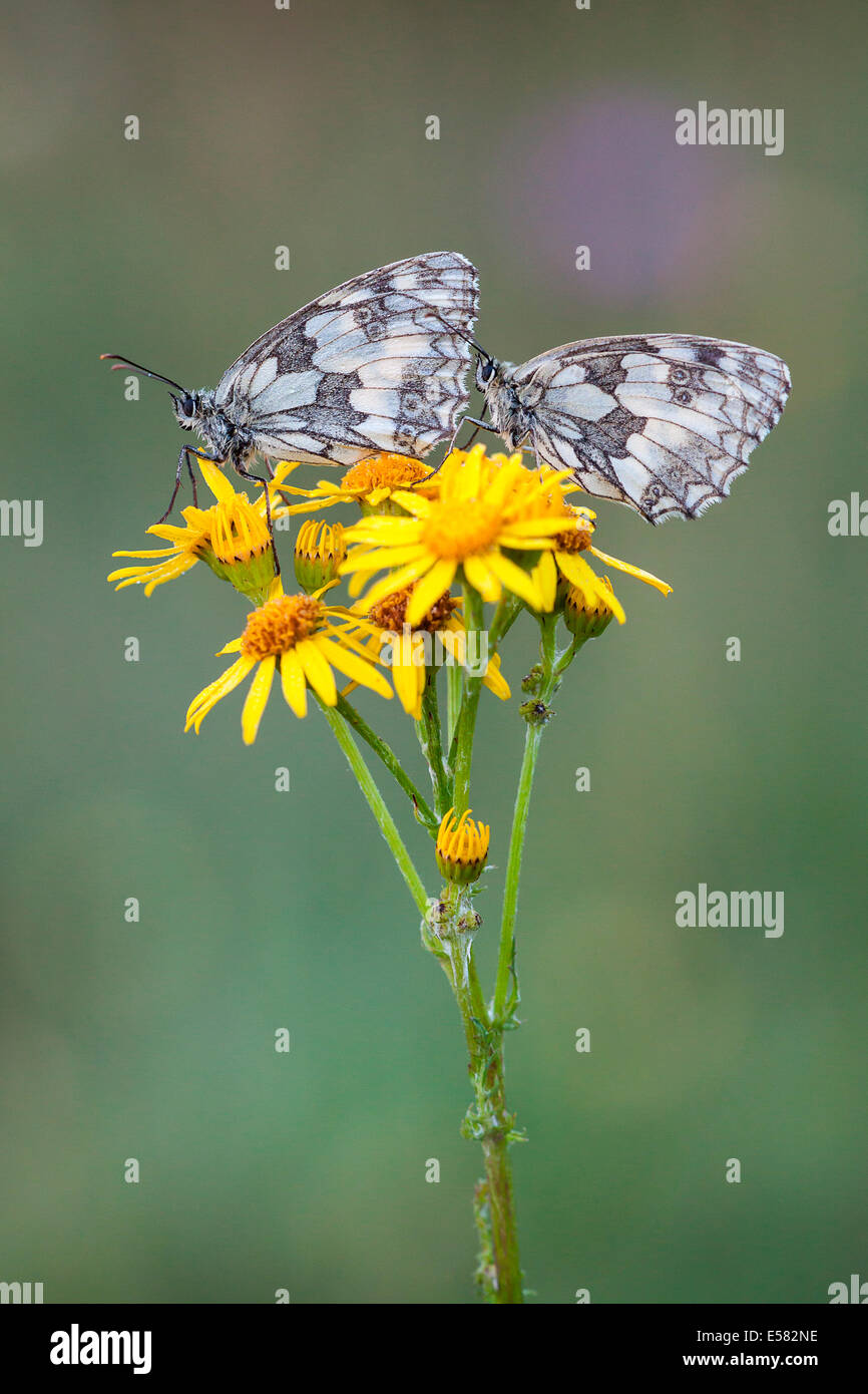 Two Marbled Whites (Melanargia galathea) on Ragwort (Senecio jacobaea), North Hesse, Hesse, Germany - Stock Image