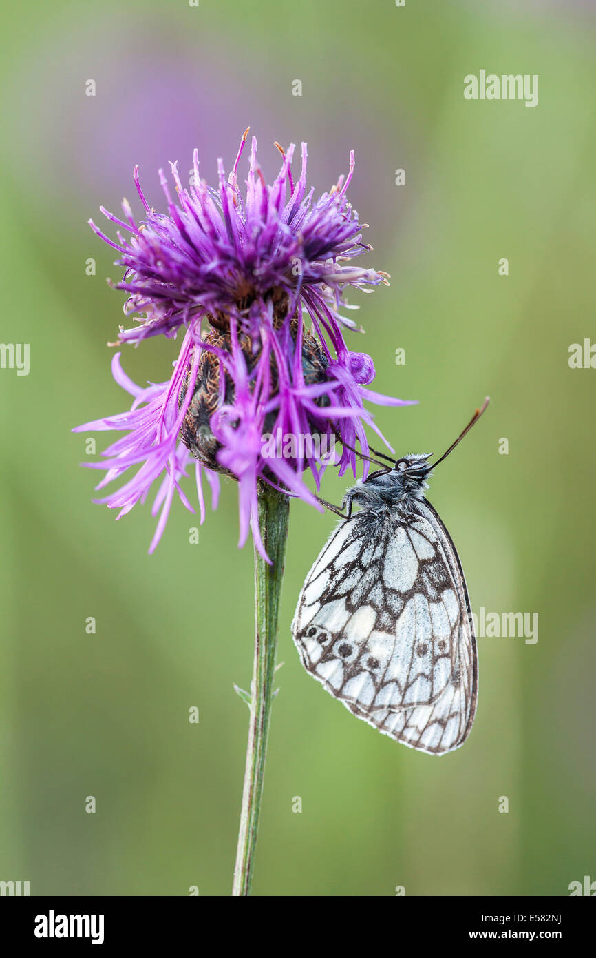 Marbled White (Melanargia galathea) on Brown Knapweed (Centaurea jacea), North Hesse, Hesse, Germany - Stock Image