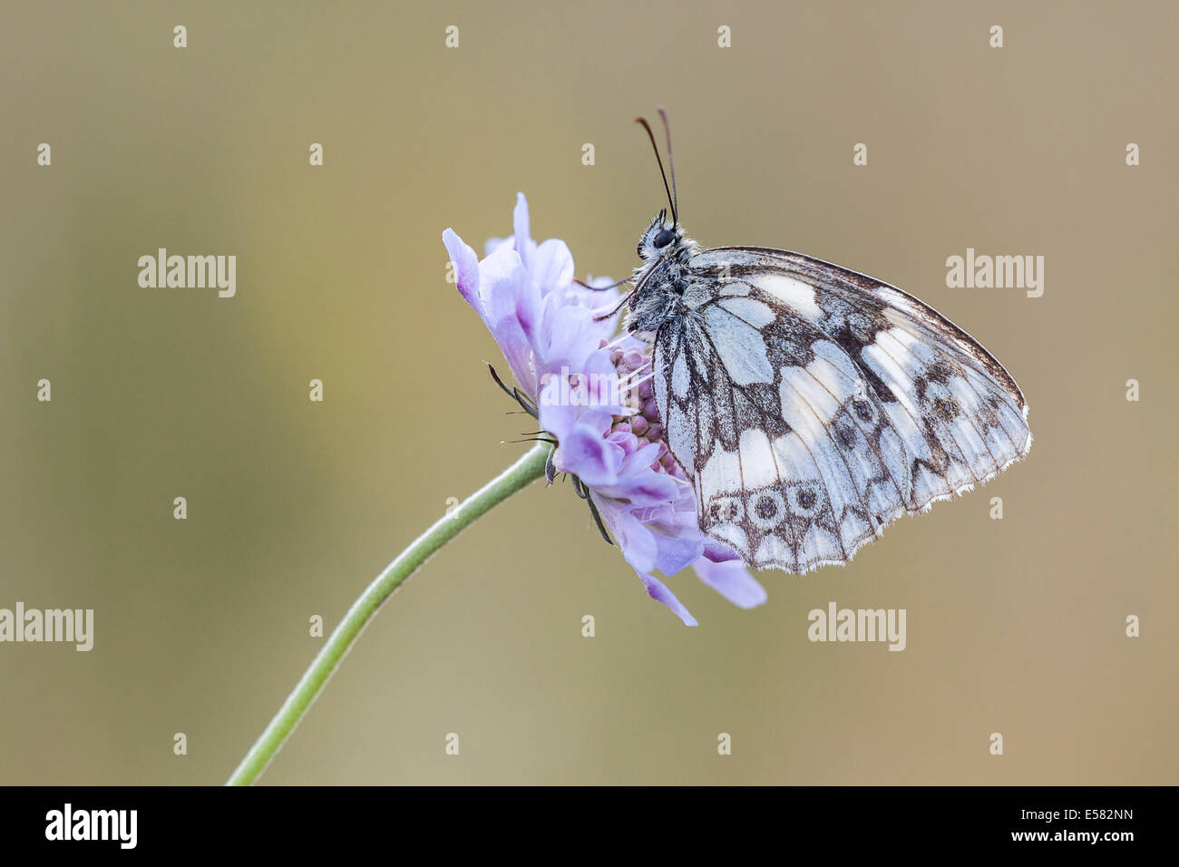 Marbled White (Melanargia galathea) on Meadow Widow Flower (Knautia arvensis), North Hesse, Hesse, Germany - Stock Image