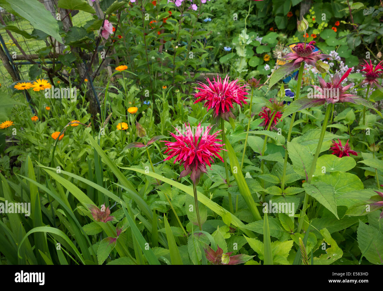 Beautiful hot pink blossoms of bee balm (Monarda) plants, growing in a garden with Calendula flowers in the summer. - Stock Image