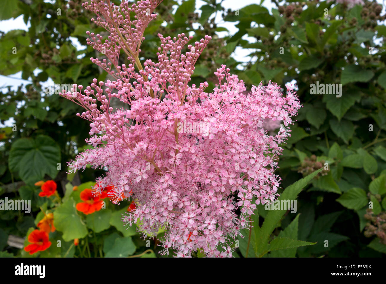 Perennial plants with small pink flowers stock photos perennial delicate small pink flowers of the filipendula rubra venusta plant growing in the garden stock mightylinksfo