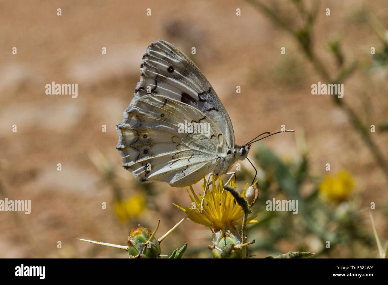 Marble White (Melanargia titea titania) on a flower. Photographed in Israel in May - Stock Image