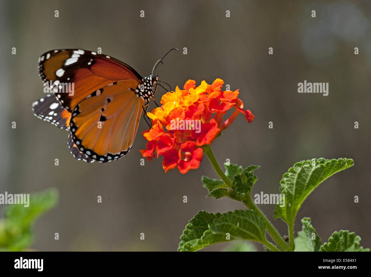 Plain Tiger (Danaus chrysippus) AKA African Monarch Butterfly on a flower shot in Israel, October - Stock Image
