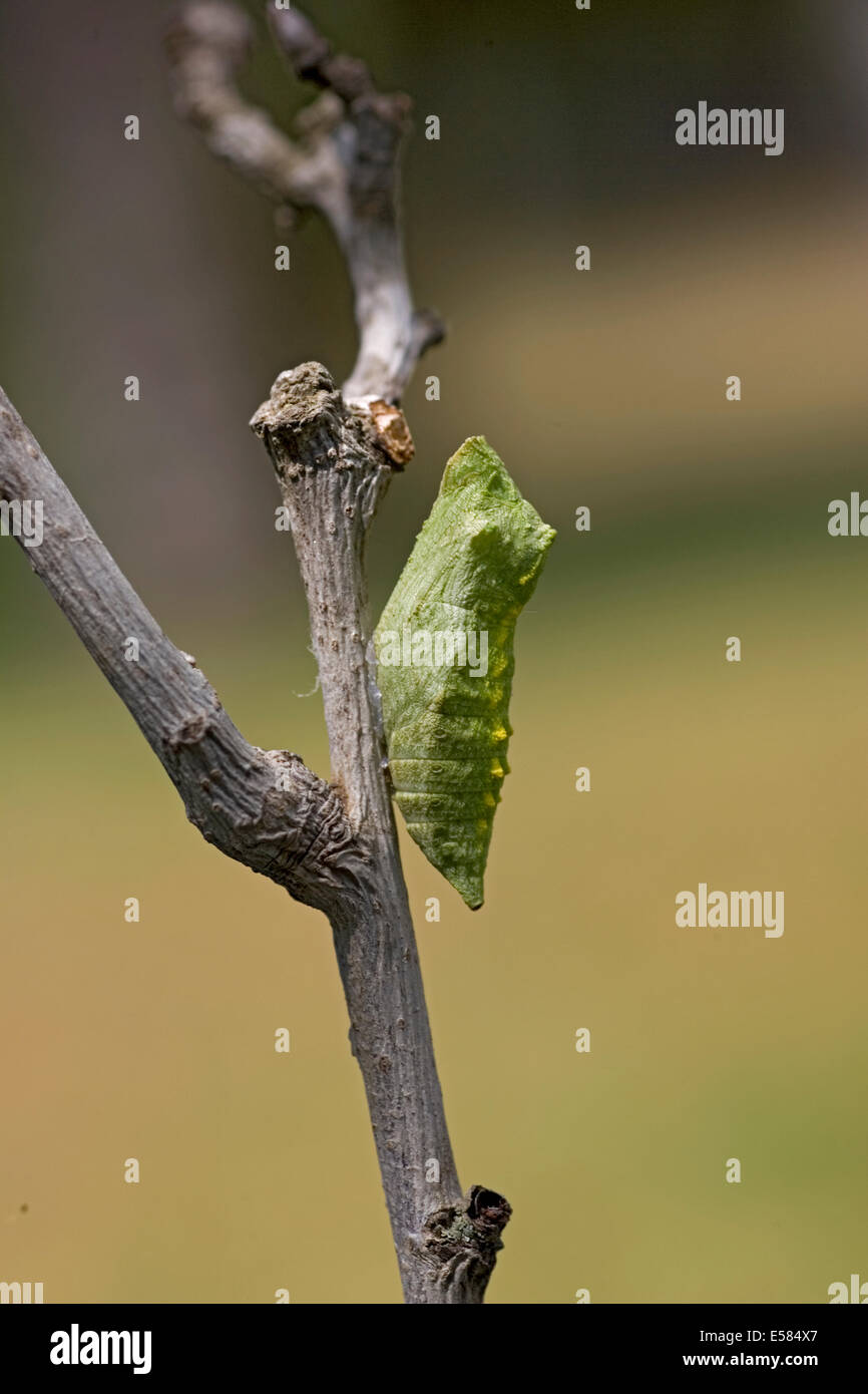 Old World Swallowtail (Papilio machaon) Butterfly in its cocoon shot in Israel, Summer August - Stock Image