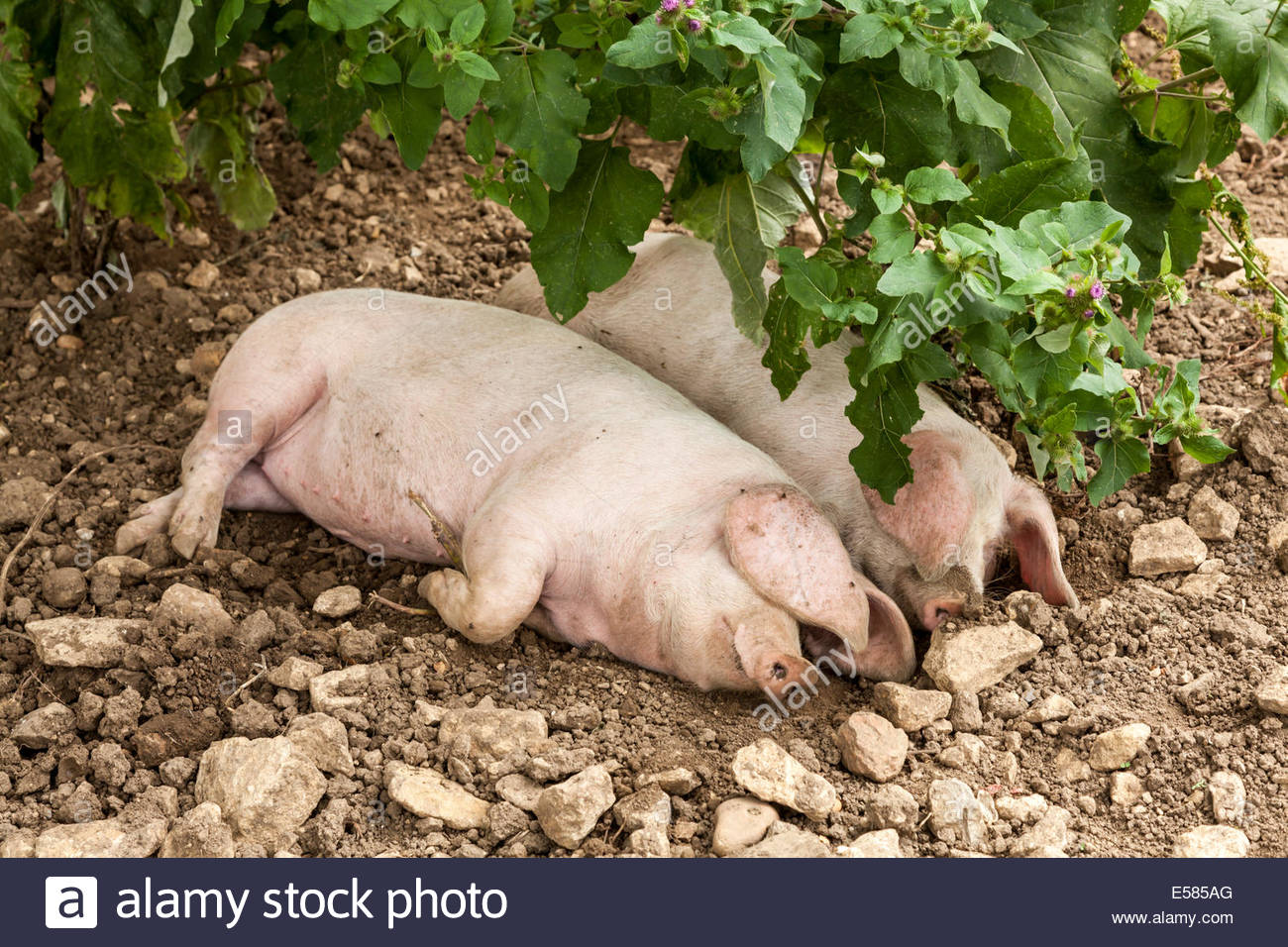 British Lop Pigs - Stock Image
