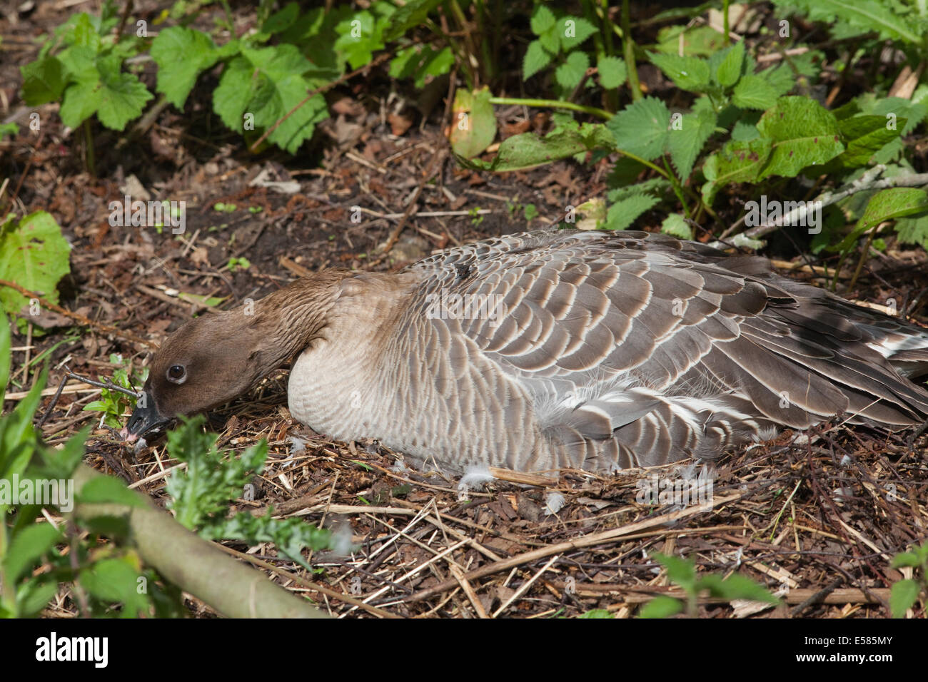 Pink-footed Goose (Anser brachyrhynchus).  Incubating bird on a nest, aware of  possible threat approaching. - Stock Image