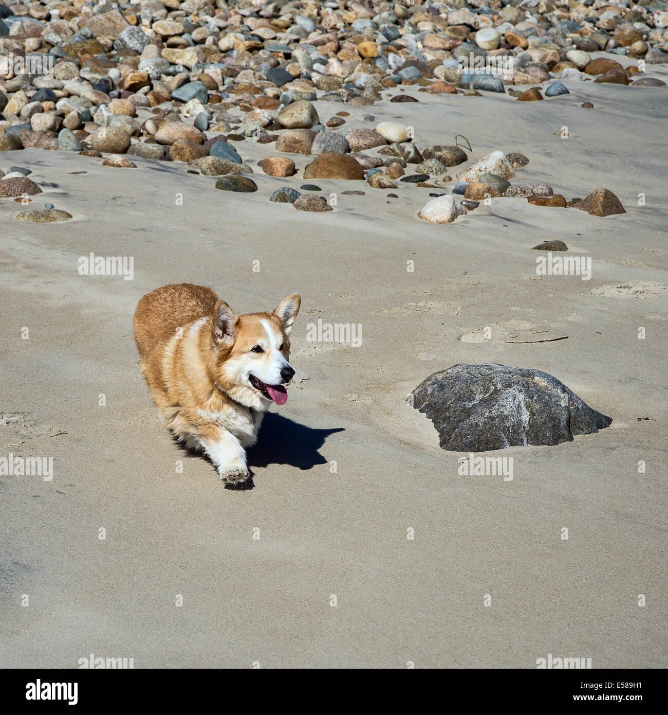 Pembroke Welsh corgi walking on the beach. - Stock Image