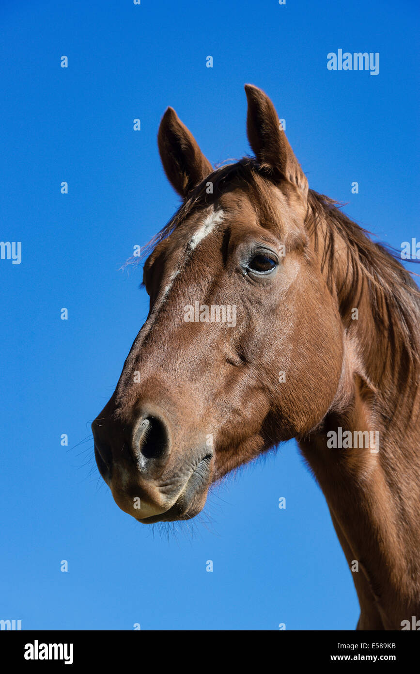 Portrait of a horse. - Stock Image