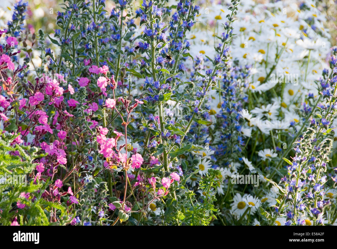 Pink blue and white flowers in a wild flower border or urban meadow pink blue and white flowers in a wild flower border or urban meadow by pictoral meadows ltd manor lodge sheffield uk mightylinksfo