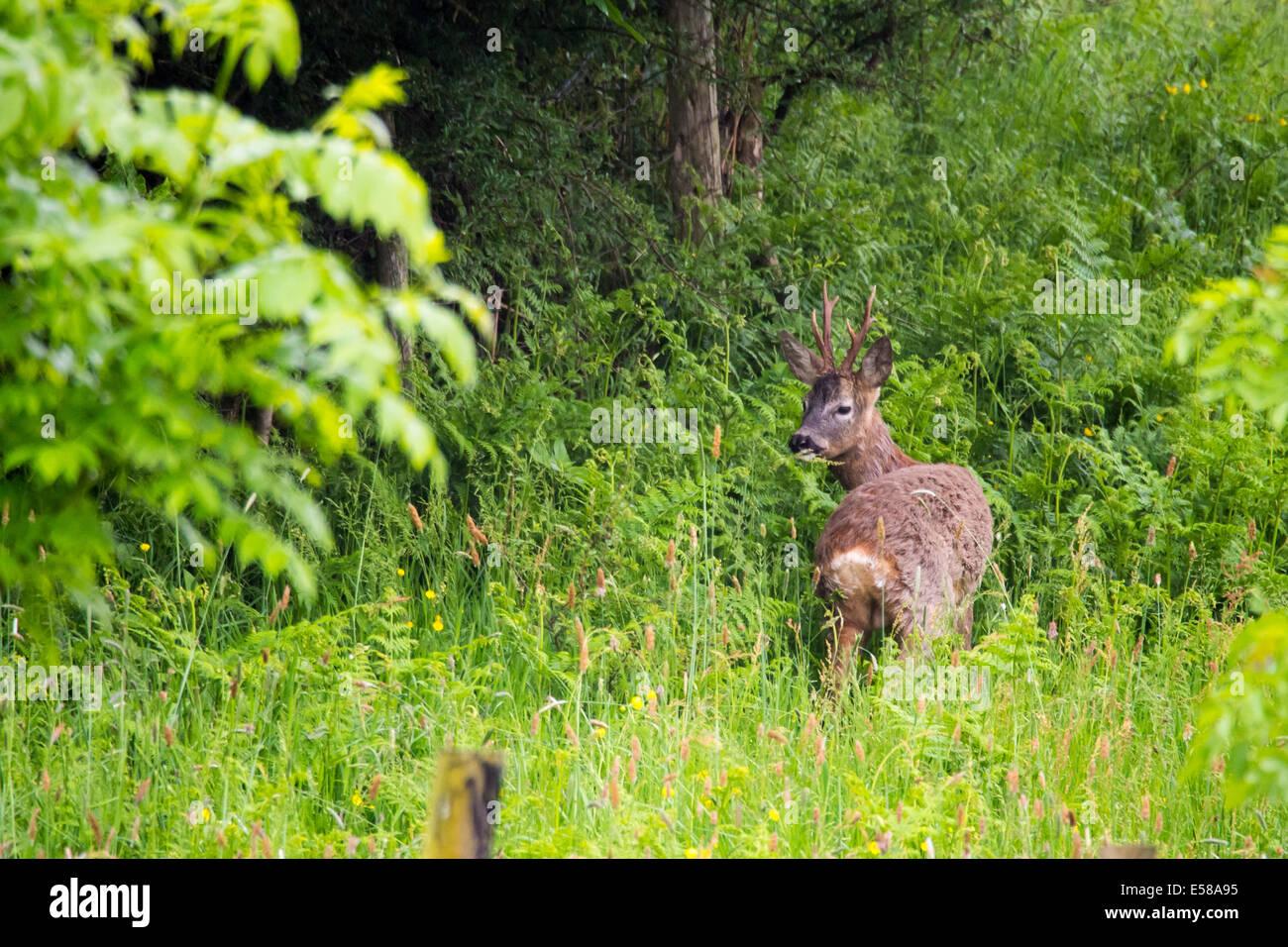 A Roe deer in Ambleside, Cumbria, UK - Stock Image