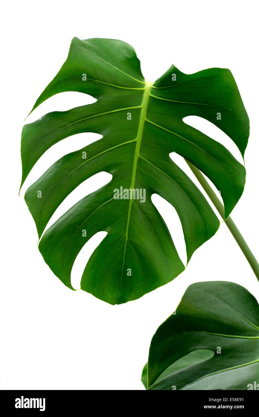 Leaf of Monstera plant. - Stock Image