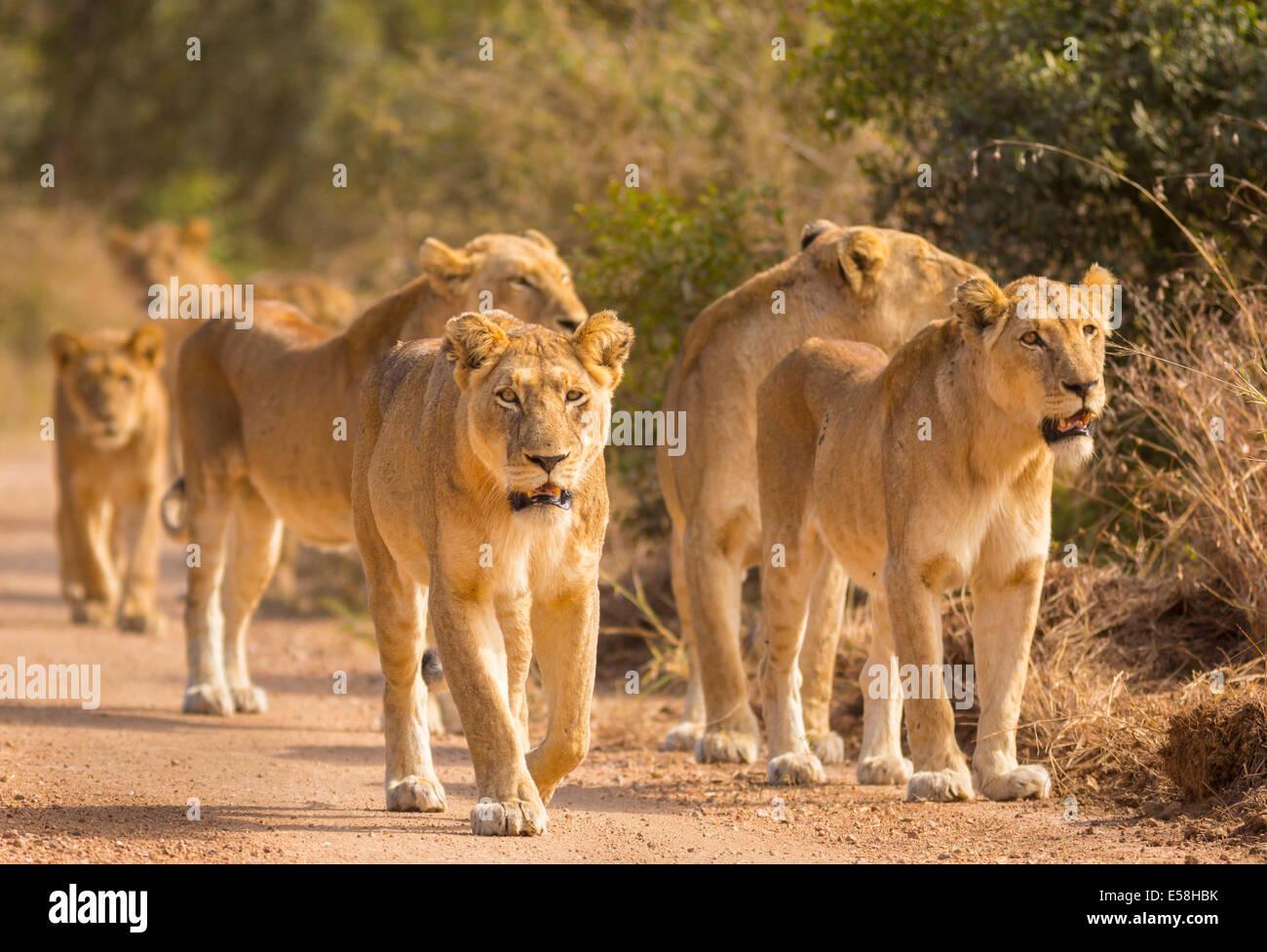KRUGER NATIONAL PARK, SOUTH AFRICA - Pride of lions hunting near Biyamiti Camp. Panthera leo - Stock Image