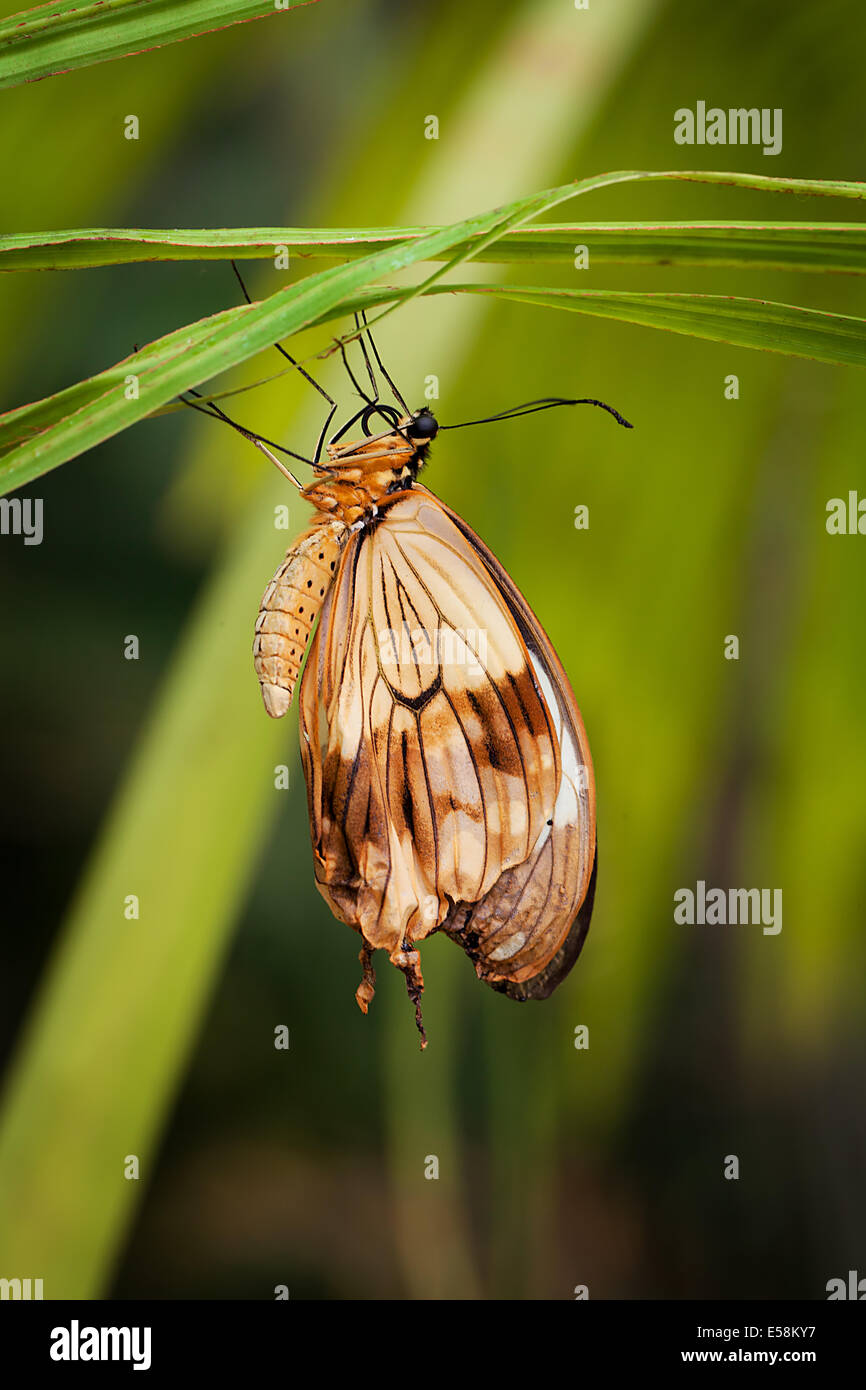 Emerging Butterfly - Stock Image