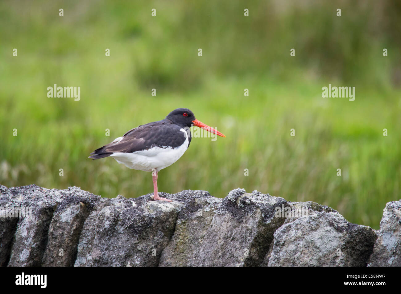 An Oystercatcher sat on a wall in the North Pennines, UK. - Stock Image