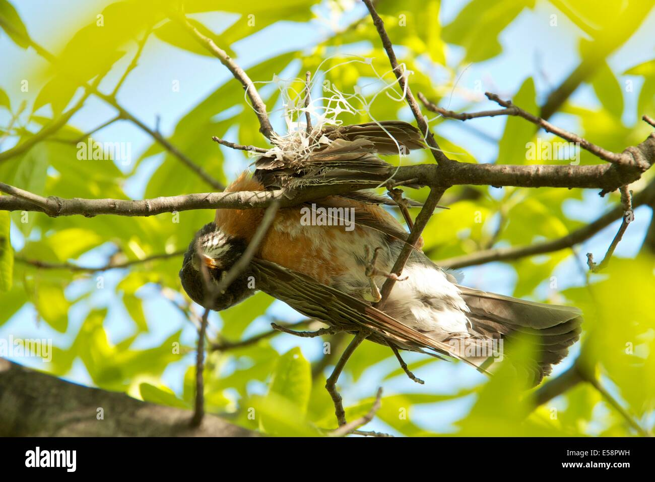 American robin killed from entanglement in plastic webbing. - Stock Image