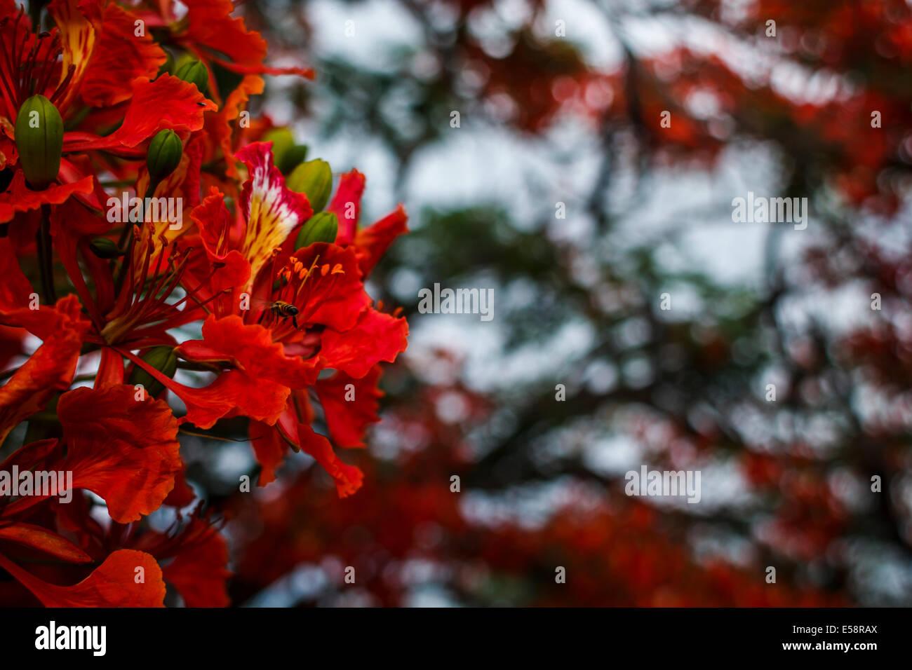 Flamboyant flowers - Stock Image