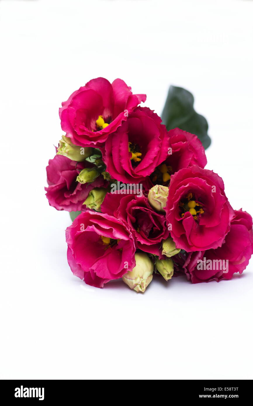 Lisianthus plant flowers on white background - Stock Image