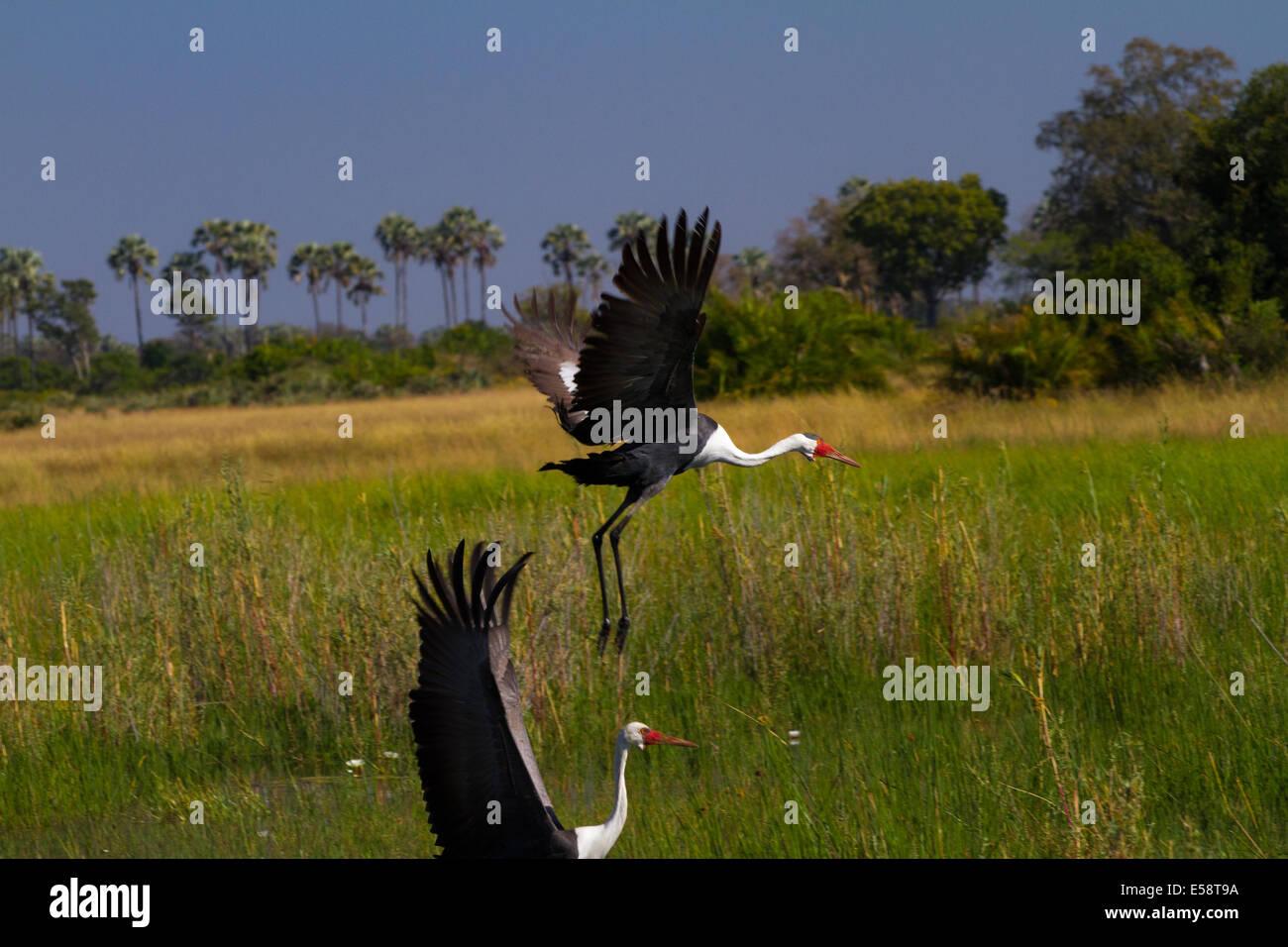 Wattled Crane, Okavango Delta, Botswana - Stock Image
