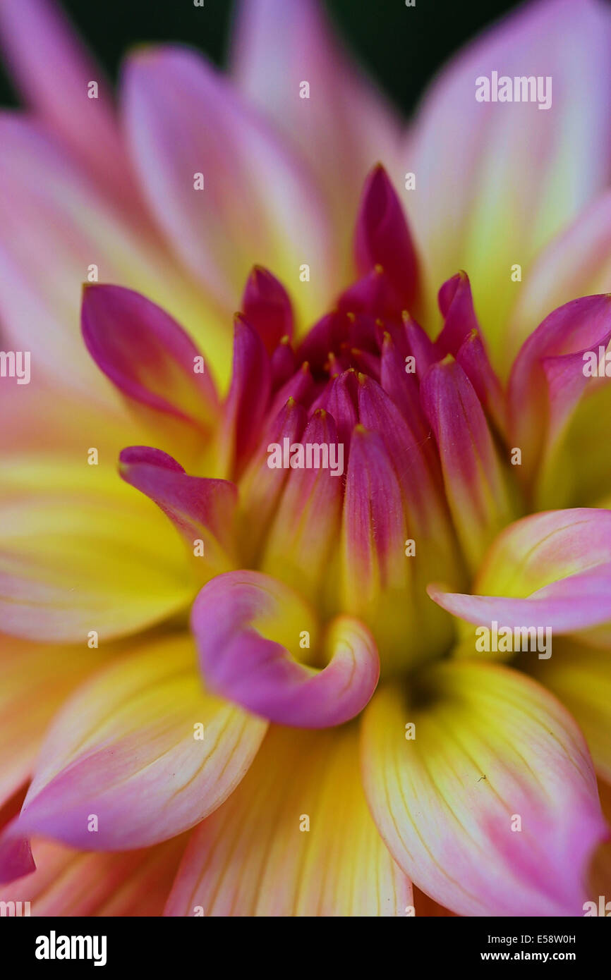 The Dahlia is a perennial flower found in tropical regions but can be used in temperate zones when stored over winter. - Stock Image