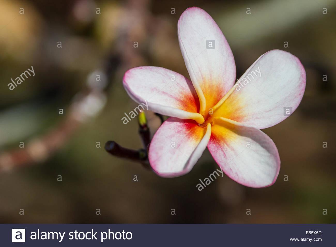 Plumeria flowers, outdoors - Stock Image