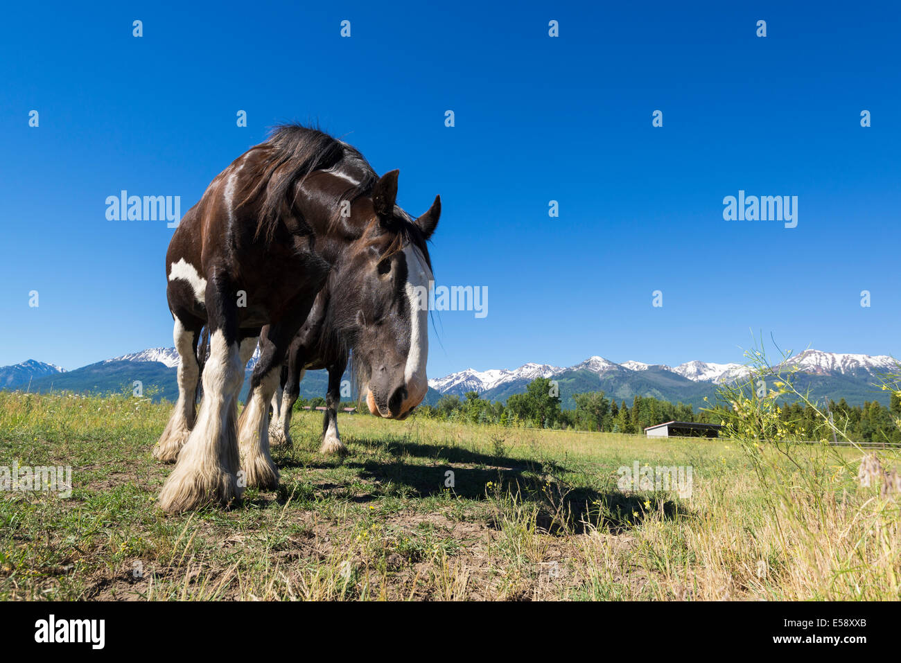 One-eyed Black Clydesdale horse, Wallowa Valley, Oregon. - Stock Image