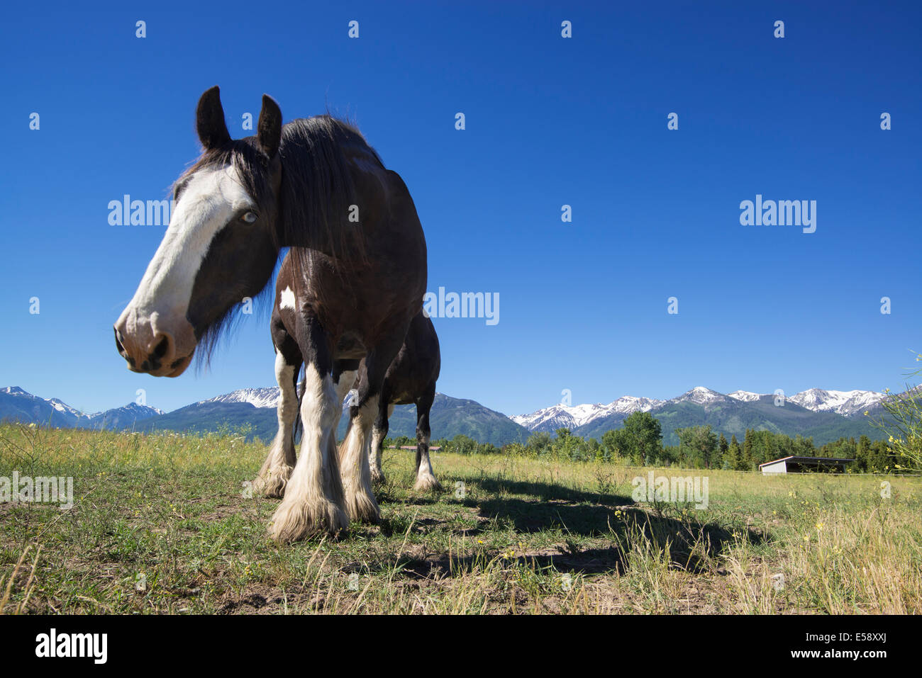 Black Clydesdale horse, Wallowa Valley, Oregon. - Stock Image