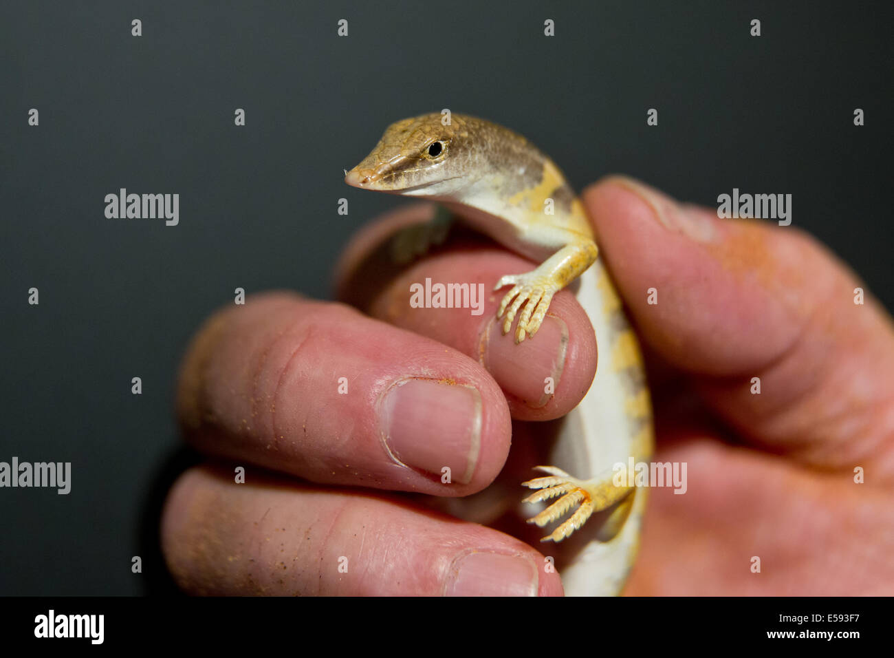 Nuremberg, Germany. 23rd July, 2014. A sandfish, a species of skink, is held in the new 'Bionicum' in the - Stock Image