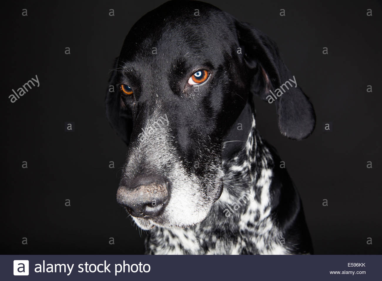 Portrait of German Shorthaired Pointer in front of black background - Stock Image