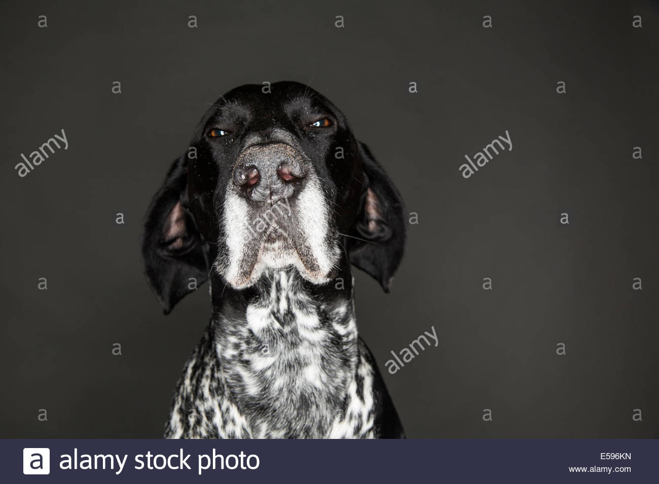 Portrait of German Shorthaired Pointer in front of grey background - Stock Image