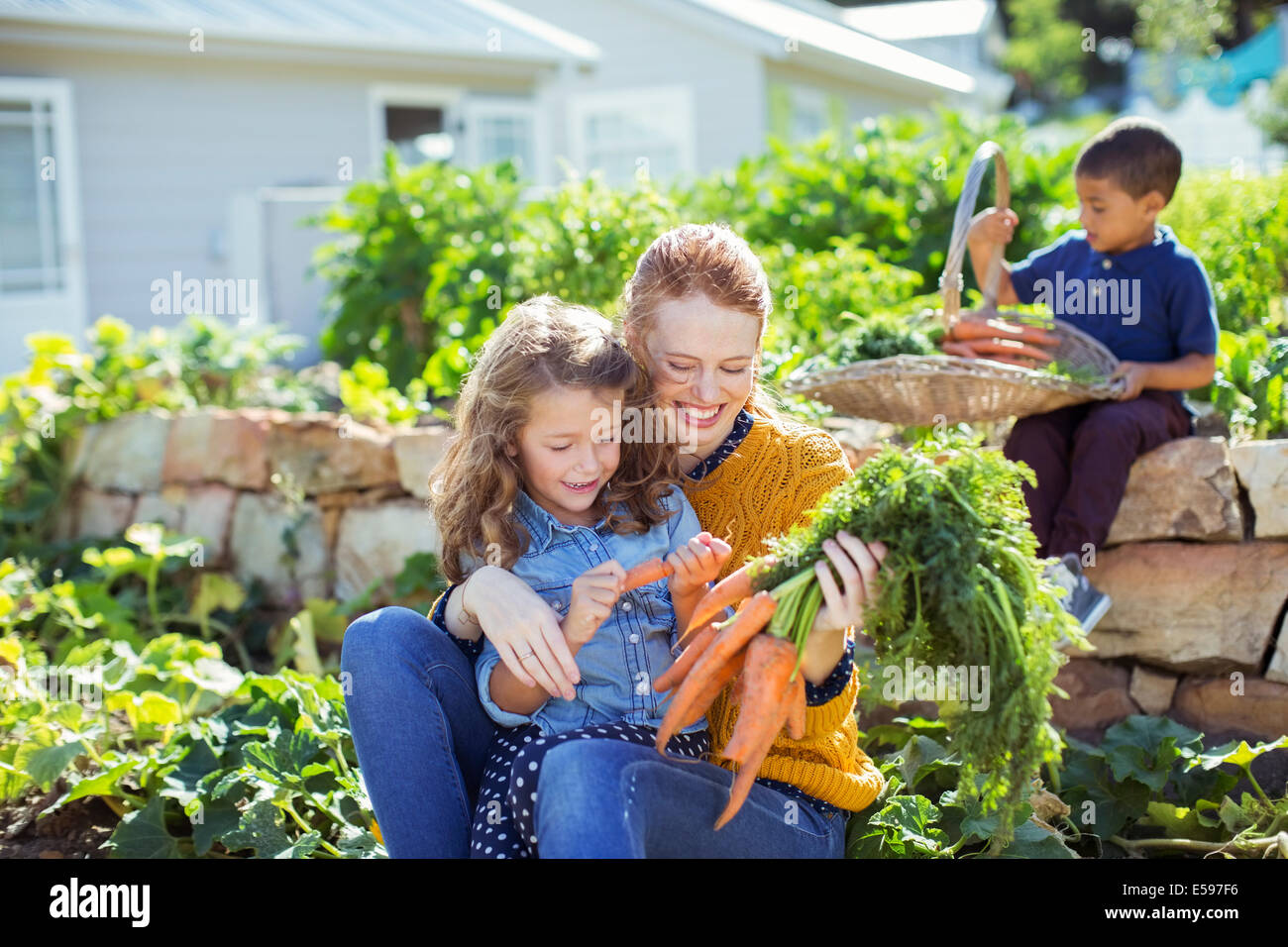 Student and teacher picking carrots in field - Stock Image