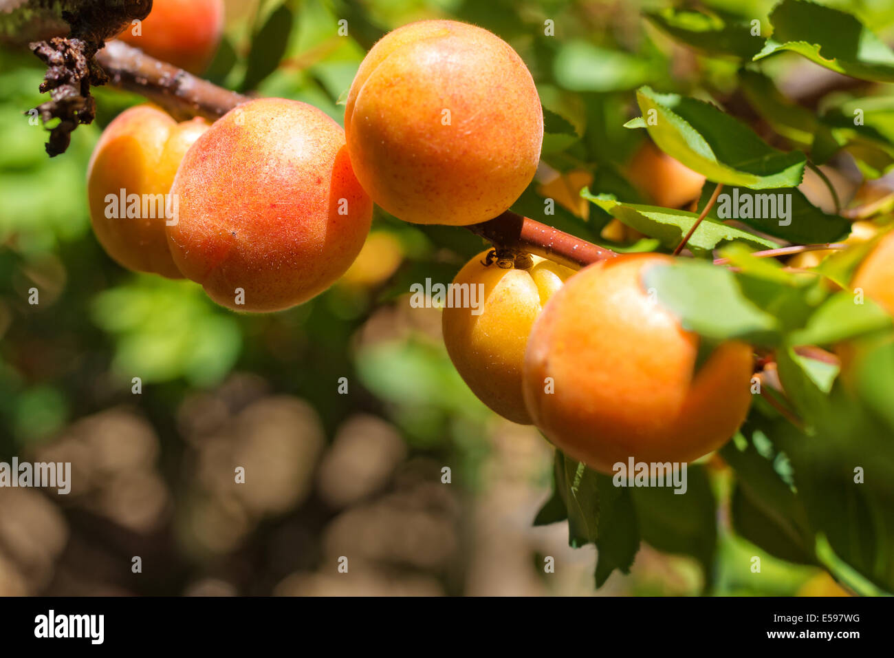 An apricot tree branch with ripe apricots. Selective focus. - Stock Image