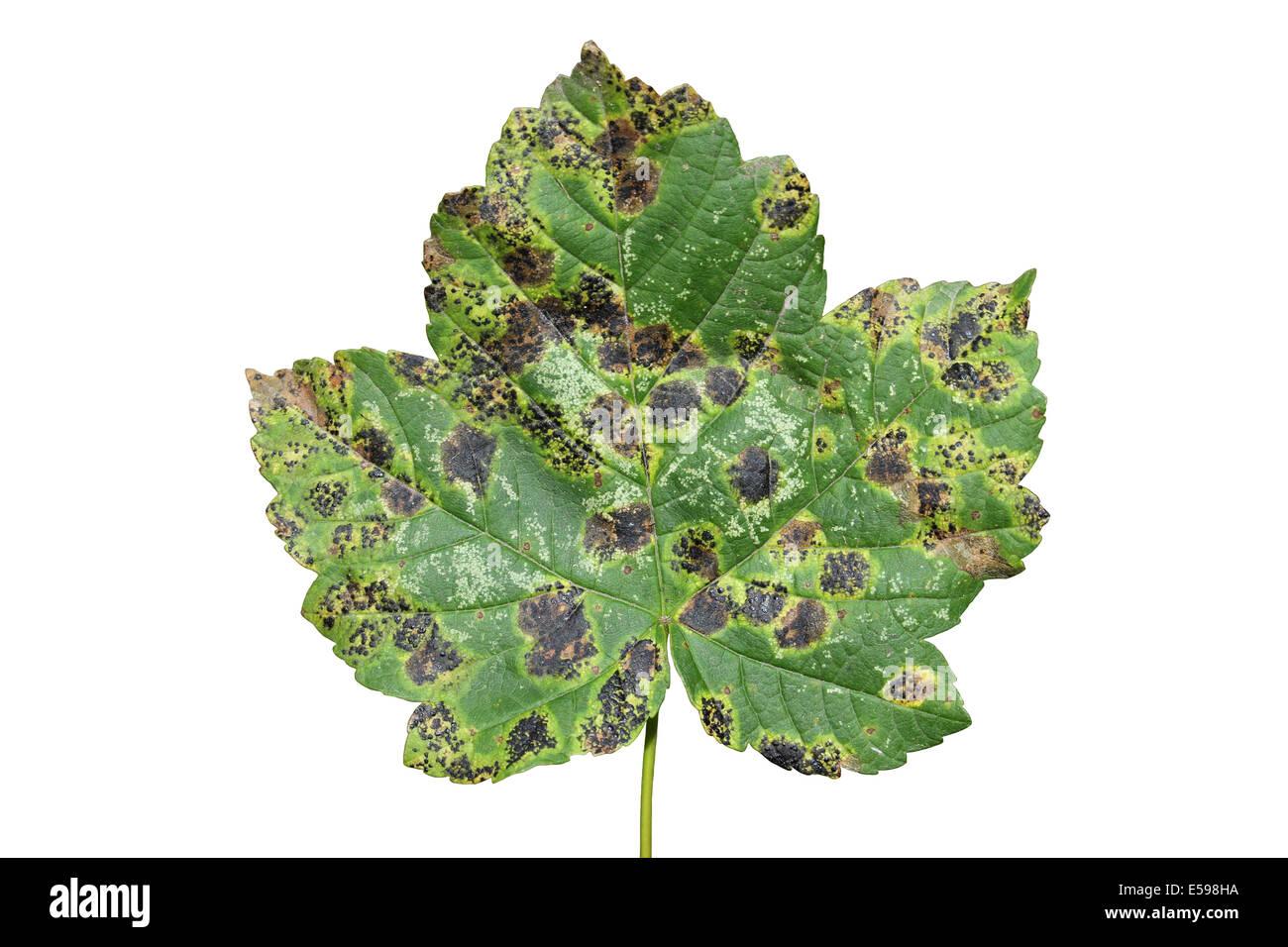 Tar Spot Fungus Rhytisma acerinum On Sycamore Acer pseudoplatanus Leaves - Stock Image