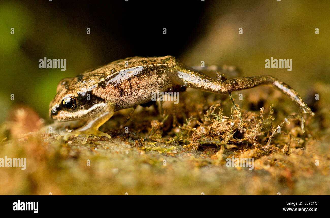 A common frog just out of tadpole stage climbing over a rock , Rana temporaria - Stock Image