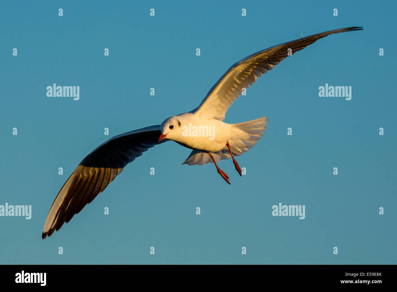 Chroicocephalus ridibundus, Black-headed Gull,South Of France - Stock Image